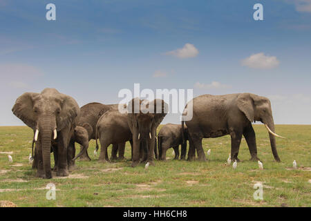 An elephant family (loxodonta africa) with several young ones in Amboseli National Park, Kenya - Stockfoto