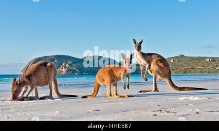 kangaroo family on white sand beach - Stock Photo