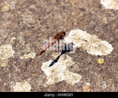 Close-up macro image of a Dragonfly sunbathing in  the gardens at Walmer Castle . - Stock Photo