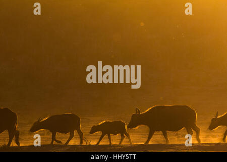 Line of African buffalo walking through dusty plains during golden sunset hour, South Africa - Stock Photo
