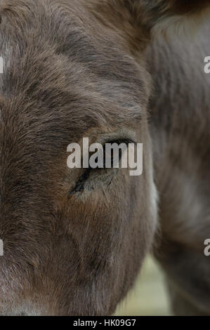 a close-up of donkey's head and eye - Stock Photo