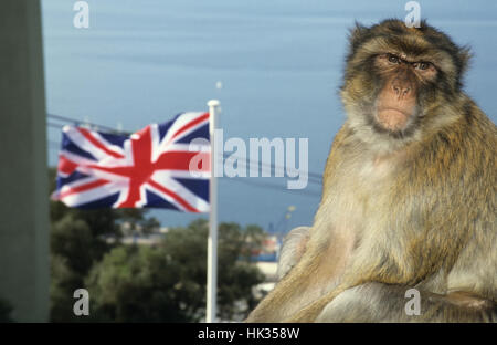 Gibraltar ape high above on the rock, British flag in the background - Stock Photo