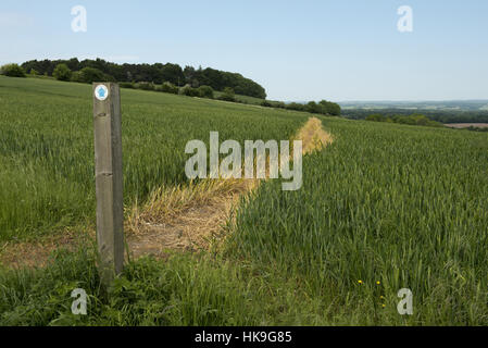 Footpath sign and path cut through stages of a winter wheat field on the North Wessex Downs in June - Stockfoto