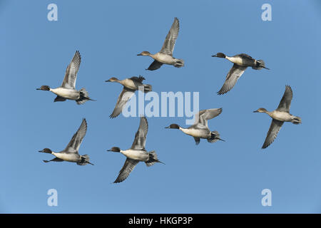 Pintail - Anas acuta - Stock Photo