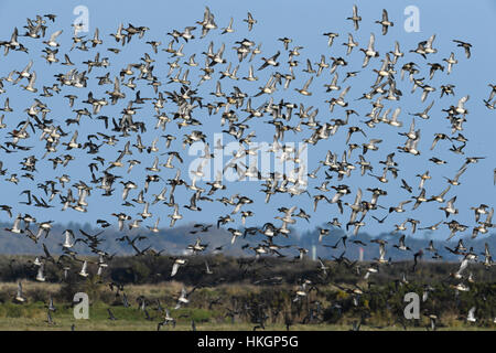 Wigeon - Anas penelope - flock with Teal and Pintail - Stock Photo
