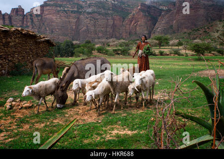 Gheralta mountains, near Hawzen, Eastern Tigray, Ethiopia. A country woman walks her cattle on the plain of the - Stockfoto