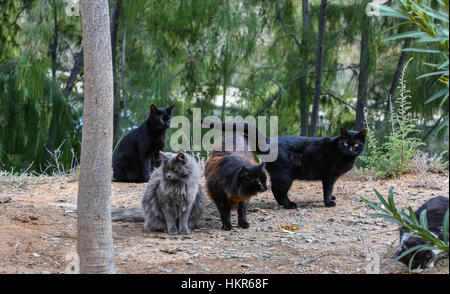 Four gray and black feral cats, Arguineguin, Gran Canaria, Spain - Stock Photo