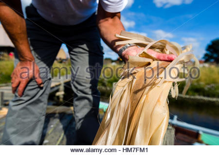 Washing out the last glue of the bast from a Lime tree to make rope. In Scandinavia bast was used until the beginning - Stock Photo