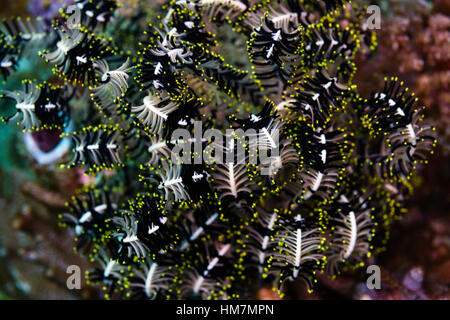 The coiled arms of a Variable Bushy Feather Star on a reef. - Stock Photo