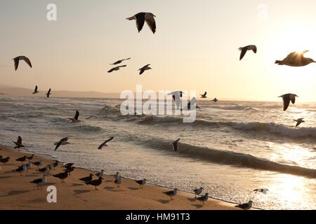 Seagulls fly over the shoreline of Marina State Beach in Monterey at sunset. - Stock Photo