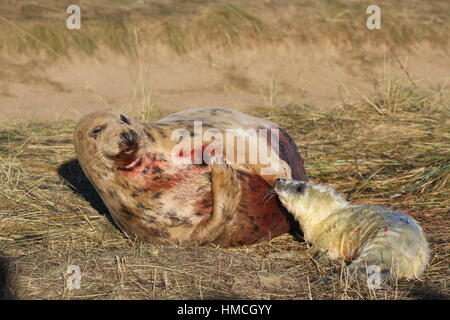 Minutes old seal pup with blood covered grey seal mother at Donna Nook, Lincolnshire, UK - Stock Photo