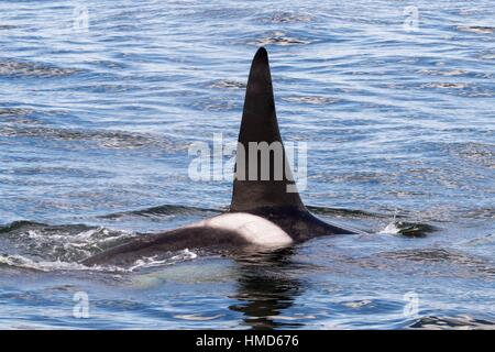 Killer Whales traveling after killing a Pacific White Sided Dolphin on the Monterey Bay, California, USA. - Stock Photo