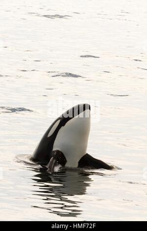 Transient Orca spy-hopping after killing a Pacific White Sided Dolphin on the Monterey Bay, California, USA. - Stock Photo