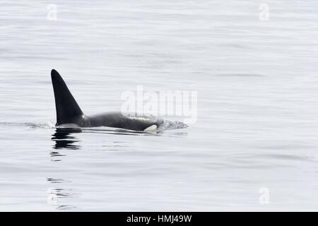 Transient Orca Fatfin CA171b in Monterey Bay. - Stock Photo