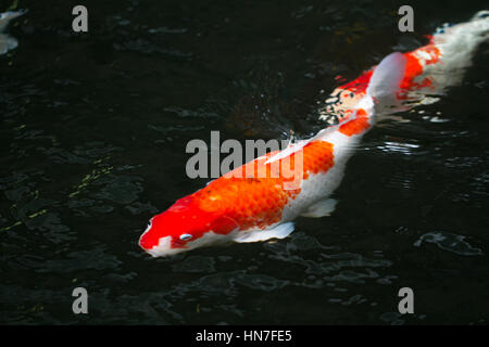 Koi pond with japan colorful carps stock photo royalty for Koi fish swimming pool
