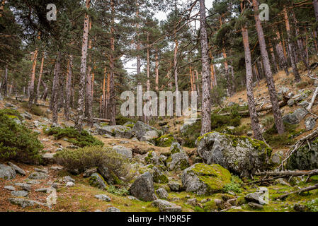 Scots pine forest in guadarrama mountains national park - Madrid forest ...
