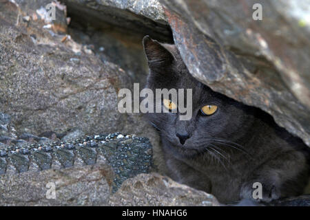 Stray or Feral grey Chartreux cat hiding in the rocks at the beach. Trap-neuter-return programs help keep the feral - Stock Photo