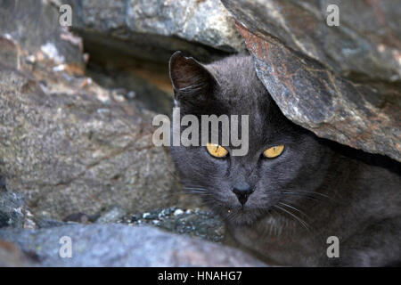 Stray or Feral grey Chartreux cat hiding in the rocks at beach. Trap-neuter-return programs help keep the feral - Stock Photo