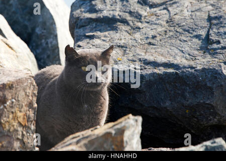 Abandoned, Stray or Feral grey Chartreux cat hiding in the rocks at the beach. Trap-neuter-return programs help - Stock Photo