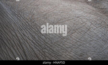 Close-up of African Elephant skin - Stock Photo