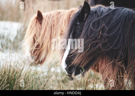 Wild horse in Brecon Beacons National Park, Horses, little hairy welsh pony, in snow, in a cold winter morning - Stock Photo