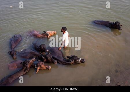 Man washing buffaloes, in Lalita ghat, Ganges river, Varanasi, Uttar Pradesh, India. - Stockfoto