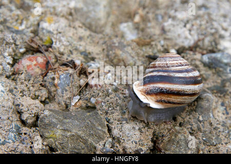 Common brown garden snail on a rock, moving slowly - Stock Photo