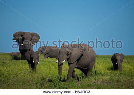 A herd of elephant walking through lush green grass. - Stock Photo