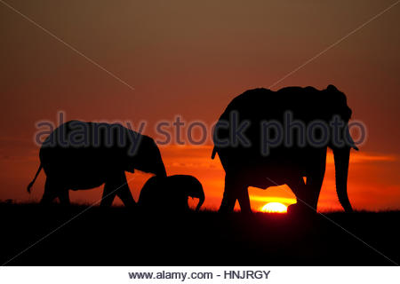 A herd of an African Elephant, Loxodonta Africana, on the move. - Stock Photo