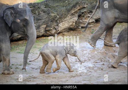 Baby elephant walking in a herd of elephants in mud - Stock Photo