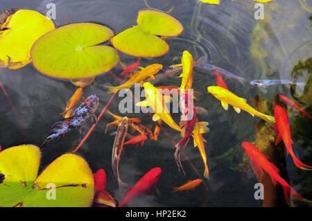 Fish in a garden pond in summer with golden orfe or for Golden ornamental pond fish