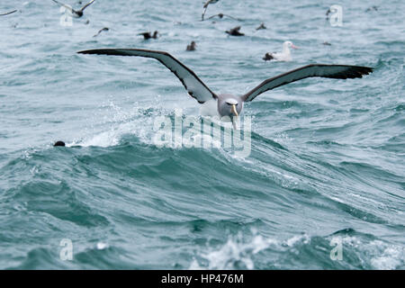 Salvin's Mollymawk landing on the waves of the Pacific Ocean near the coast of Kaikoura in New Zealand.  Ein Salvin - Stock Photo