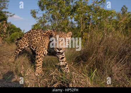 Jaguar exploring a grassland in the Cerrado - Stock Photo
