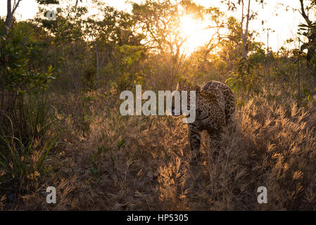 Jaguar exploring the Cerrado - Stock Photo