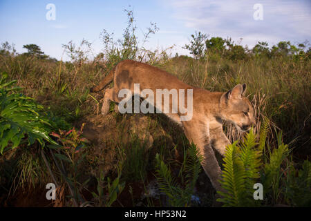 A large Puma cub from Central Brazil jumping over a small creek - Stock Photo
