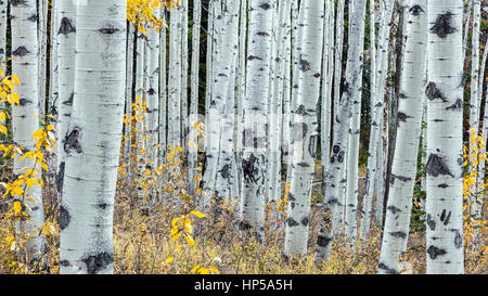 Forest of Aspen trees in jasper national park, alberta, canada - Stock Photo