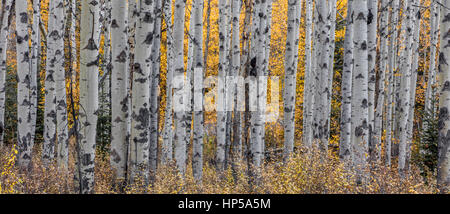 Aspen trees in autumn in the wilderness of Jasper National Park, Canada - Stock Photo