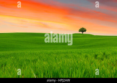 Tuscany landscape, beautiful green hills and lonely tree springtime at sunset in Italy,Europe - Stock Photo