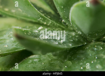 Close up shot of the rain drops on the House leek. - Stock Photo