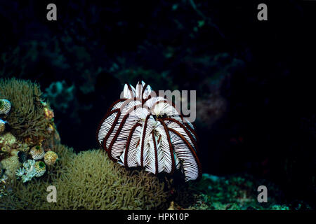 A sawtooth featherstar (Oligometra serripinna). When there is no current, featherstars fold their arms with resulting - Stock Photo