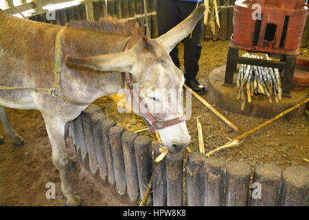 Donkey grinds cane at rum factory in Jamaica Appleton Jamaica Rum factory district St. Elisabeth. - Stock Photo