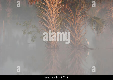 Dense foggy morning in wetlands of central Florida with palm trees - Stock Photo