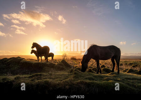 Icelandic horses grazing in the wild as the sun comes up - Stockfoto