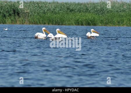 Great pelican (Pelecanus onocrotalus )  on the water surface, Danube Delta, Romania - Stockfoto