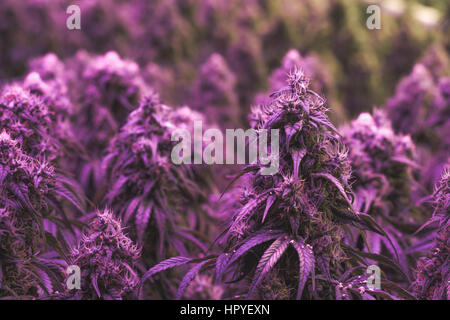 Large purple flowering legal cannabis buds in an indoor marijuana grow facility - Stock Photo