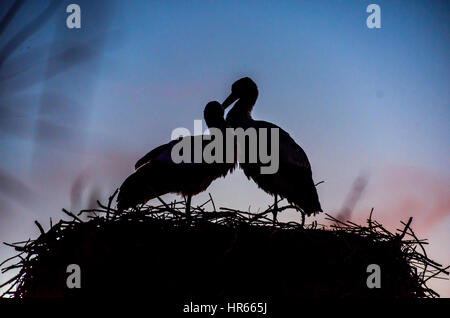 A pair of loving storks nesting in the Camargue, France.Park ornithologique de pont de gau. - Stockfoto
