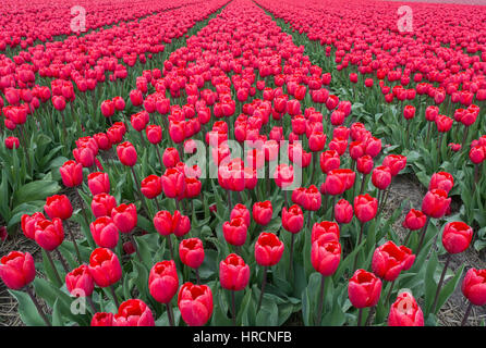 Endless field of red tulips. Holland. Europe. - Stock Photo