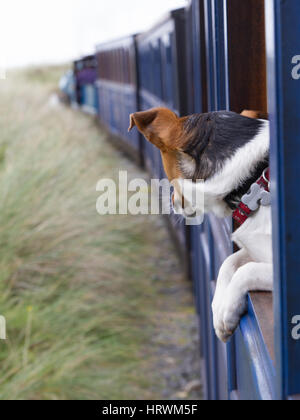 Jack Russell Terrier JRT Rusty looks out from a train on the Fairbourne Railway, North Wales - Stock Photo