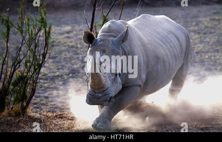 Rhinoceros charging - Stock Photo