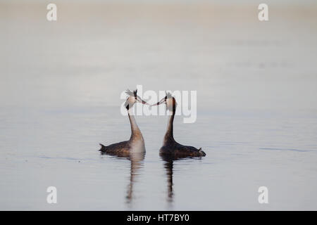 Great Crested Grebes Courting - Stock Photo
